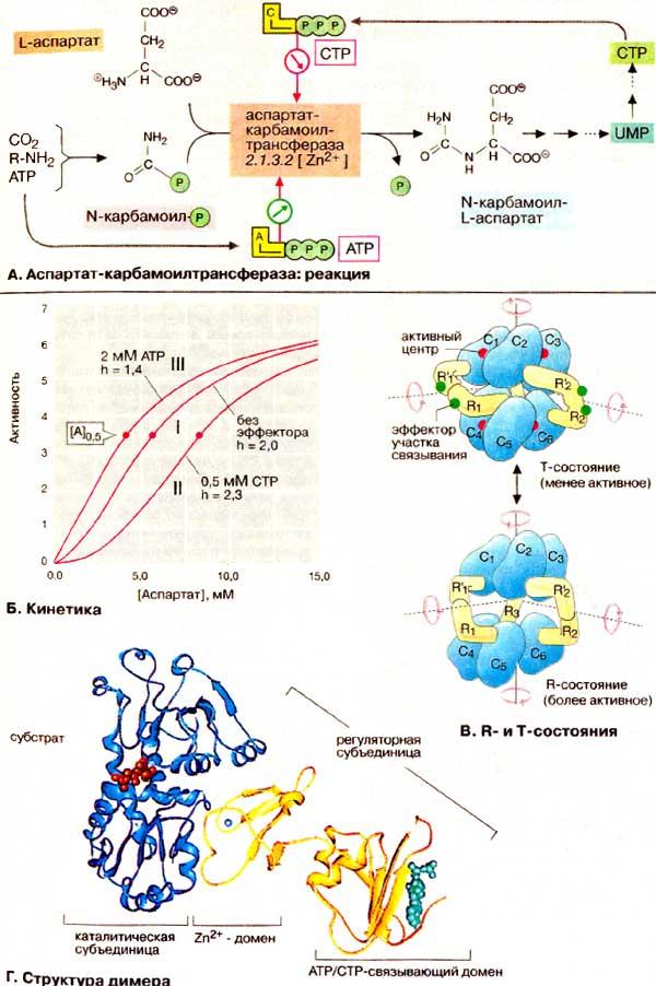 фермента биосинтеза