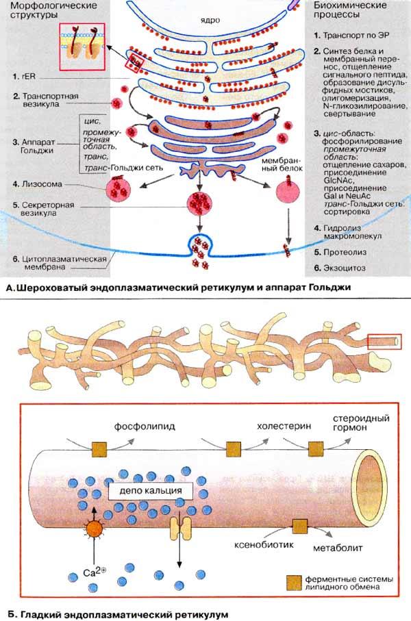 Ретикулум Эндоплазматический фото