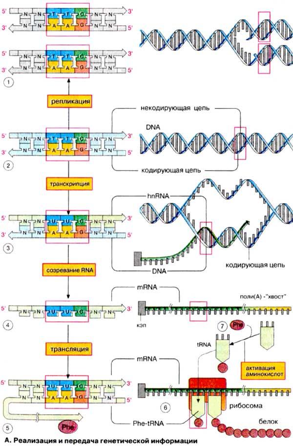 генетической информации