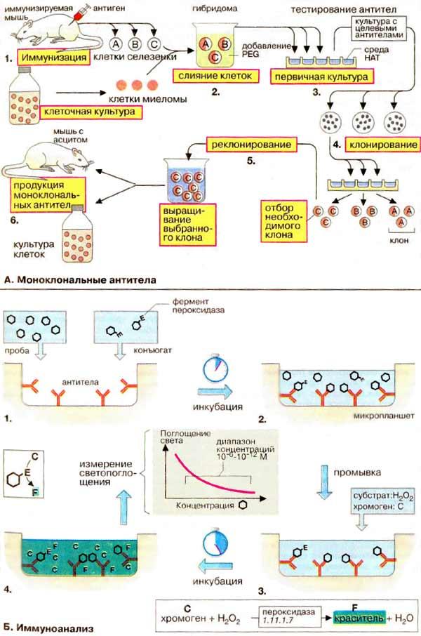 Моноклональные антитела.