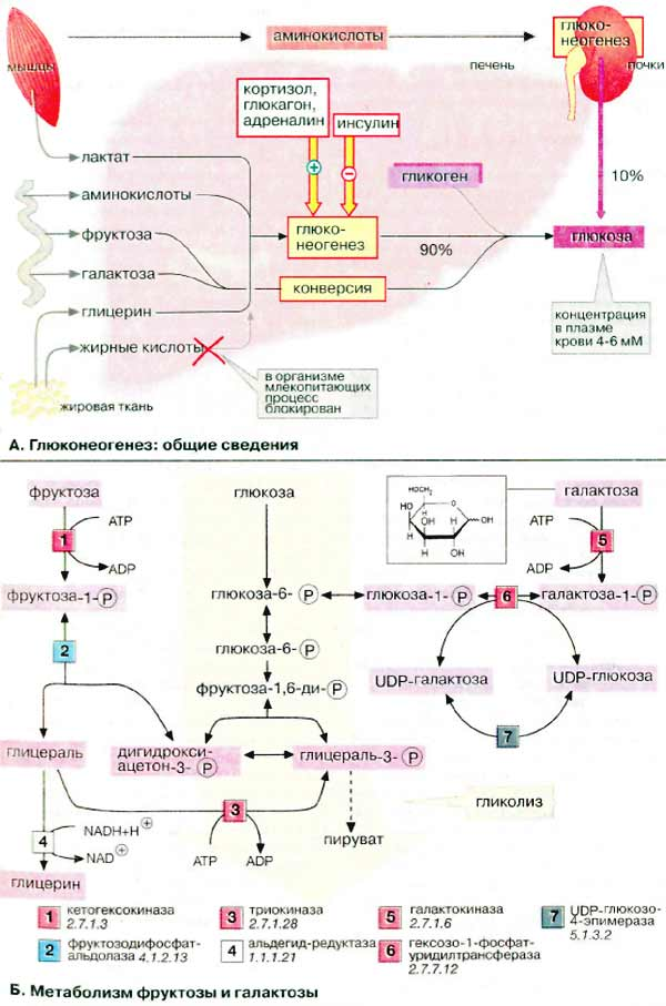 Метаболизм углеводов. 303
