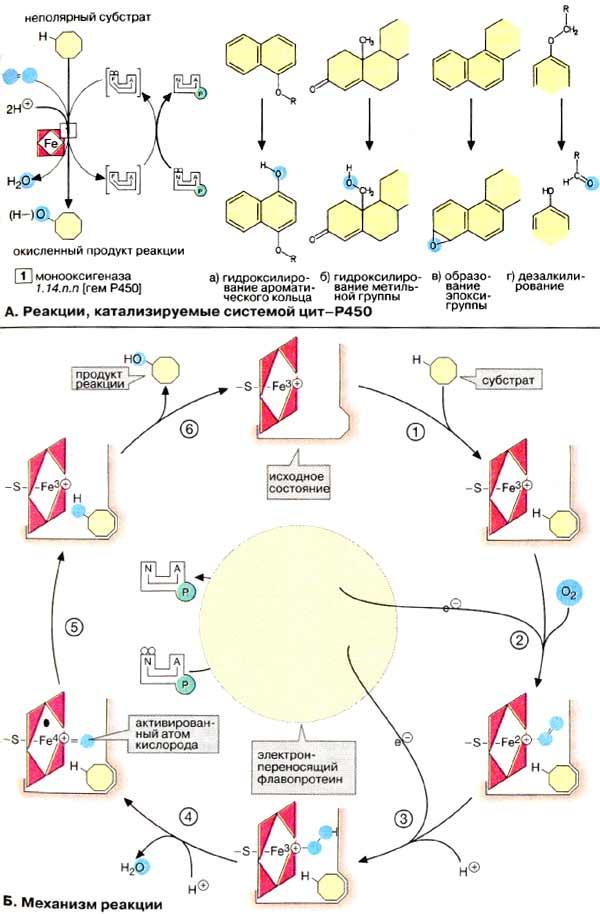 Флавопротеин