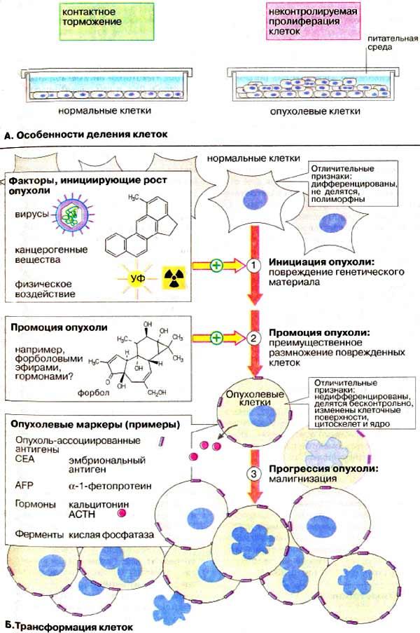 А. Особенности деления клеток
