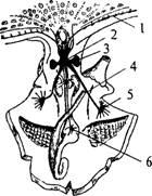 У предков хордовых животных, по-видимому, имелась продольная...  Рис. 14.  Схема строения нервной системы...