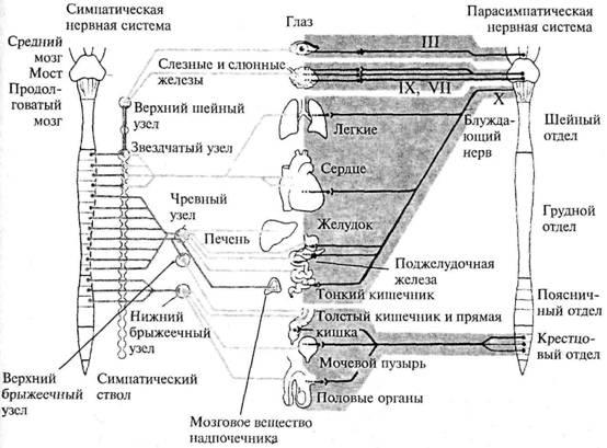 Рис.19.  Схема строения вегетативной нервной системы.  Римскими цифрами обозначены соответствующие пары...