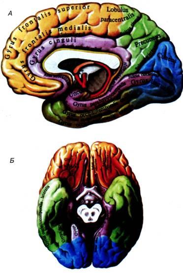 Большой мозг, cerebrum