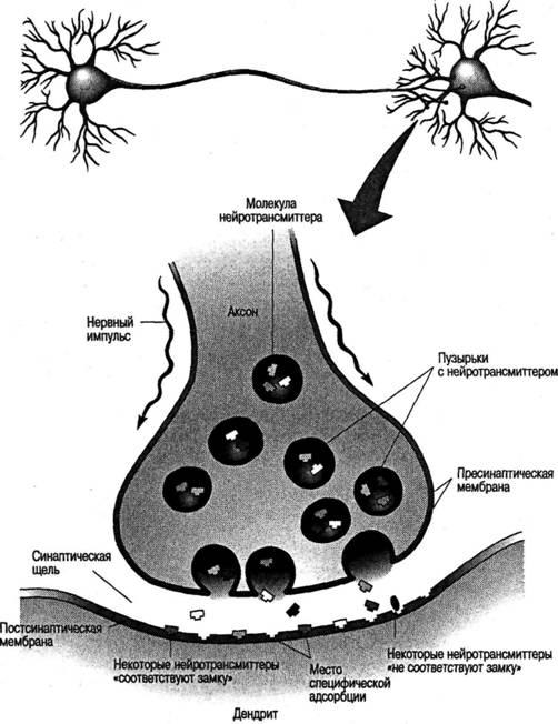 ной связи между когнитивными функциями и мозгом благодаря исследованиям пациентов, страдающих от повреждений...