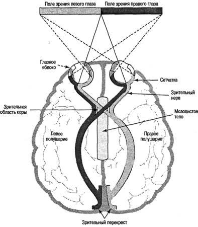 ...нервных путей между сетчатками глаз и правым и левым полушариями головного мозга (нервный путь) - схема, таблица.
